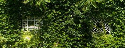 La parete con l'edera. Fotografie Stock