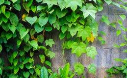 La parete con lo scalatore Fotografie Stock