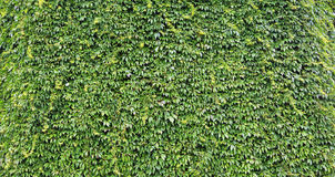 La parete delle foglie naturali nel giardino Immagini Stock Libere da Diritti