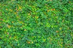 la parete delle foglie verdi Immagini Stock Libere da Diritti