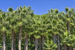 La parete delle palme verdi su un cielo blu nel parco di Ataturk Antalya, Turchia Immagine Stock