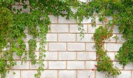La parete di pietra ha attorcigliato una pianta Fotografie Stock Libere da Diritti