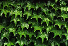 La parete fertile di verde lascia la vita tranquilla Fotografia Stock Libera da Diritti
