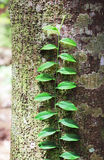 La parra y los liquenes cubrieron el tronco de árbol Imagenes de archivo