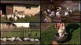 La parrilla de la alimentación de la mujer del granjero y despluma la pluma Acorta el collage almacen de metraje de vídeo