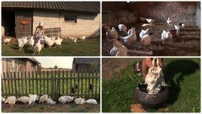 La parrilla de la alimentación de la mujer del granjero y despluma la pluma Collage del clip metrajes