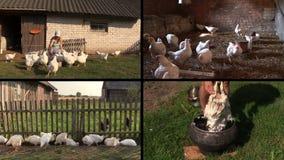 La parrilla de la alimentación de la mujer del granjero y despluma la pluma Collage del videoclip almacen de metraje de vídeo