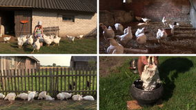 La parrilla de la alimentación de la mujer del granjero y despluma la pluma Collage video almacen de metraje de vídeo