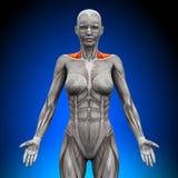 La parte anteriore/collo di trapezio Muscles - l'anatomia femminile royalty illustrazione gratis