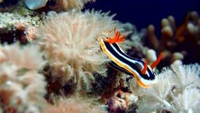 La parte inferior de Mar Rojo del Nudibranchia oscila en el filón de corales inferior del salto almacen de video