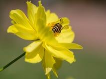 La parte posterior de la abeja que está lista para volar Imágenes de archivo libres de regalías