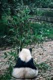 La parte posterior de la panda Fotos de archivo libres de regalías