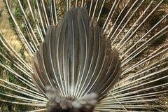 La parte posterior de un pavo real del baile Fotos de archivo