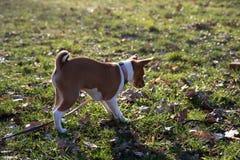La parte posterior y la vista lateral de un perrito del basenji de dos tonos que se coloca en un área de la hierba que huele en  imagen de archivo libre de regalías