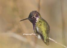 La parte posteriore del colibrì della Costa Immagini Stock