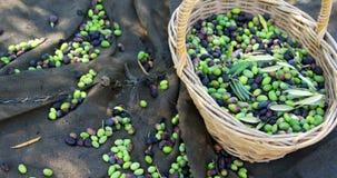 La participation de sourire de couples a moissonné des olives dans la ferme 4k banque de vidéos