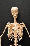 La partie supérieure d'un squelette photo libre de droits
