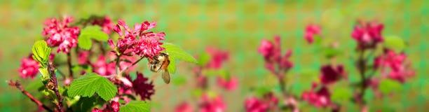 La pasa de la sangre florece y abeja en el jardín de la primavera Imagenes de archivo