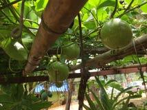 La passiflore comestible de passiflore organique Images stock