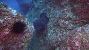 La pastinaca negra nada sobre el filón profundo, rocoso almacen de metraje de vídeo