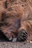 La pata de la piel marrón del oso grizzly el dormir cansó mullido Imágenes de archivo libres de regalías
