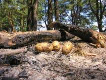 La patata está en la hoguera refrescada de las cenizas Imagen de archivo