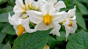 La patata fiorisce la foto del primo piano Fotografie Stock
