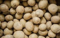 La patata organica fresca sta fuori fra molte grandi patate del fondo nel mercato Mucchio della radice della patata Primo piano Fotografia Stock Libera da Diritti