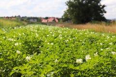 La patata verde forra blanco floreciente en la plantación Maduración del sector agrario de la cosecha futura del indust agrícola fotografía de archivo libre de regalías