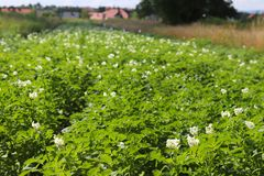 La patata verde forra blanco floreciente en la plantación Maduración del sector agrario de la cosecha futura del indust agrícola fotos de archivo libres de regalías
