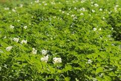 La patata verde forra blanco floreciente en la plantación Maduración del sector agrario de la cosecha futura del indust agrícola fotografía de archivo