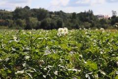 La patata verde forra blanco floreciente en la plantación Maduración del sector agrario de la cosecha futura del indust agrícola fotos de archivo