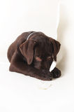 La patte coupable de chiot de Labrador couvre le nez sur un fond blanc Images libres de droits