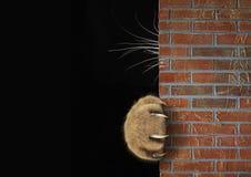 La patte et les favoris du chat derrière le mur image stock
