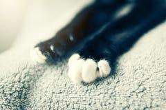 La patte trouble du beau chat noir et blanc Avec l'espace de copie Photos libres de droits