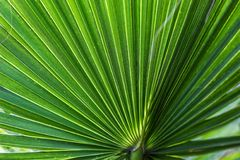 La paume de fan américaine de l'Arizona de paume de coton de paume de fan de désert de filifera de Washingtonia a dépouillé la fe Photos stock