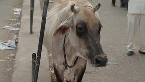 La pauvre vache mince traverse une rue l'Inde banque de vidéos