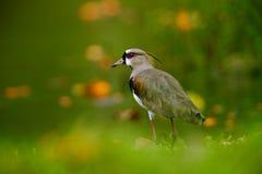 La pavoncella del sud, chilensis del Vanellus, innaffia l'uccello esotico durante l'alba, nell'habitat della natura, Pantanal, Br Fotografia Stock Libera da Diritti