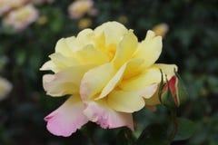 La paz amarilla hermosa subió con tinte rosado imágenes de archivo libres de regalías