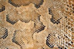 La peau (cuir) du lézard s'est bronzée (entré en vigueur). Images libres de droits