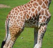La peau de girafe Photographie stock