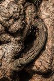 La peau de l'arbre Photo libre de droits