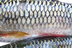 La peau de texture des poissons de Sulatan est nouvelle multiplication, petit poisson d'eau douce image libre de droits