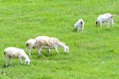La pecora è pascuta su un'azienda agricola nella campagna Fotografia Stock Libera da Diritti