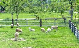 La pecora è pascuta su un'azienda agricola nella campagna Immagini Stock Libere da Diritti