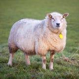 La pecora adulta sta in prato e guarda Fotografia Stock