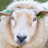 La pecora adulta sta in prato e guarda Fotografie Stock Libere da Diritti