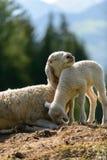 La pecora ama piccolo - l'Italia Fotografia Stock Libera da Diritti