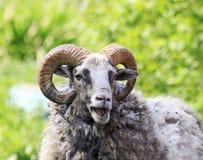 la pecora con i grandi corni bela divertente su erba verde fotografie stock libere da diritti