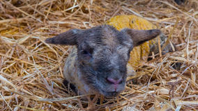 La pecora delle pecore lecca il suo agnello dopo avere dato alla luce fotografia stock libera da diritti
